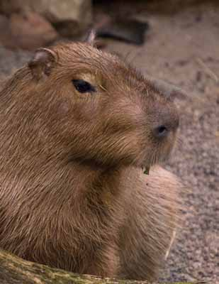 Boies_Pierre_Capybara