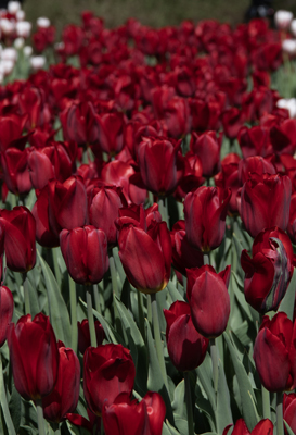 Tulipes_Ottawa_PM-1