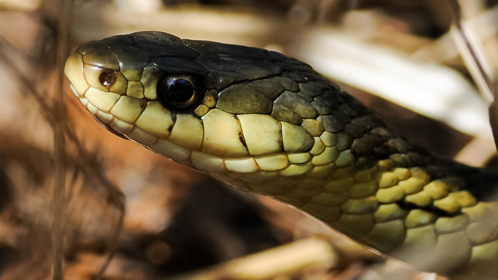 Bachand_Pierre_Anaconda_quebecois